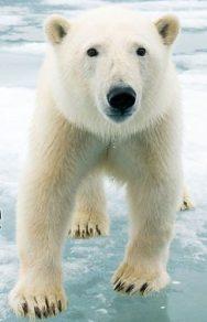 WWF bear